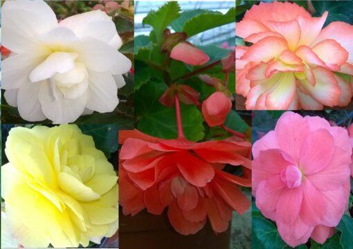 BEGONIACEAE SP. (ΒΙΓΟΝΙΑ) | Φυτώρια/Γεωπονικές Επιχειρήσεις Χορομίδης: γλάστρες, φυτά, καρποφόρα, αειθαλή, φυτοχώματα, λιπάσματα, εργαλεία και είδη κήπου | Horomidis Agronomic Corp. Flower pots, plants, garden utensils and supplies, evergreens, fruit trees, fertilizer, soil