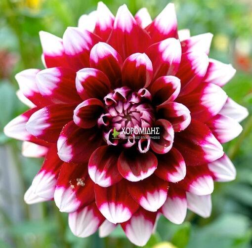 DΑΗΛΙΑ SP. (ΝΤΑΛΙΑ) | Φυτώρια/Γεωπονικές Επιχειρήσεις Χορομίδης: γλάστρες , φυτά, καρποφόρα, αειθαλή, φυτοχώματα, λιπάσματα, εργαλεία και είδη κήπου | Horomidis Agronomic Corp. Flower pots, plants, garden utensils and supplies, evergreens, fruit trees, fertilizer, soil