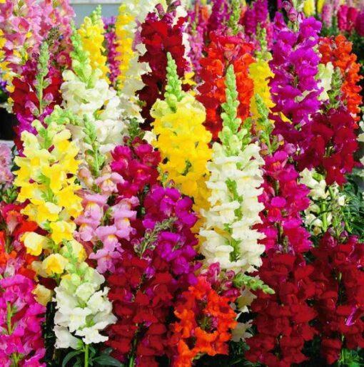 ANTIRRHINUM MAJUS (ΣΚΥΛΑΚΙ) | Φυτώρια/Γεωπονικές Επιχειρήσεις Χορομίδης: γλάστρες, φυτά, καρποφόρα, αειθαλή, φυτοχώματα, λιπάσματα, εργαλεία και είδη κήπου | Horomidis Agronomic Corp. Flower pots, plants, garden utensils and supplies, evergreens, fruit trees, fertilizer, soil