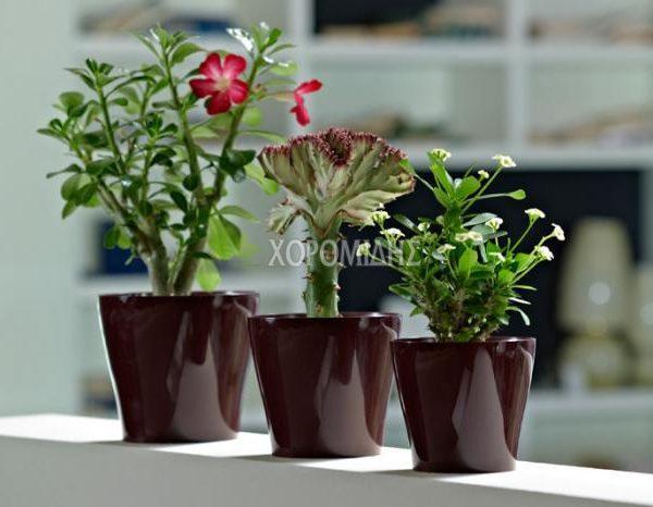 mitu synue| Φυτώρια/Γεωπονικές Επιχειρήσεις Χορομίδης: γλάστρες, φυτά, καρποφόρα, αειθαλή, φυτοχώματα, λιπάσματα, εργαλεία και είδη κήπου | Horomidis Agronomic Corp. Flower pots, plants, garden utensils and supplies, evergreens, fruit trees, fertilizer, soil