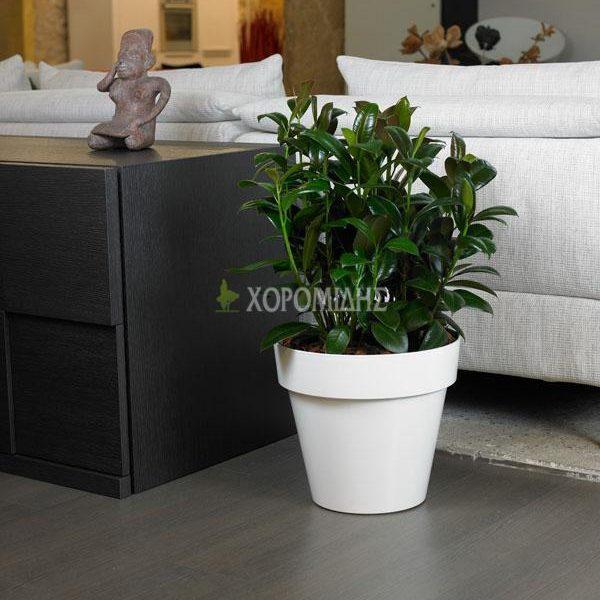 vaso xl| Φυτώρια/Γεωπονικές Επιχειρήσεις Χορομίδης: γλάστρες, φυτά, καρποφόρα, αειθαλή, φυτοχώματα, λιπάσματα, εργαλεία και είδη κήπου | Horomidis Agronomic Corp. Flower pots, plants, garden utensils and supplies, evergreens, fruit trees, fertilizer, soil
