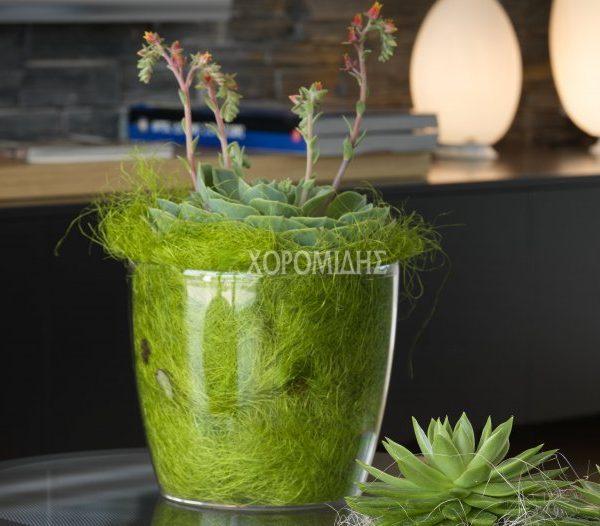 madeira κασπώ| Φυτώρια/Γεωπονικές Επιχειρήσεις Χορομίδης: γλάστρες, φυτά, καρποφόρα, αειθαλή, φυτοχώματα, λιπάσματα, εργαλεία και είδη κήπου | Horomidis Agronomic Corp. Flower pots, plants, garden utensils and supplies, evergreens, fruit trees, fertilizer, soil