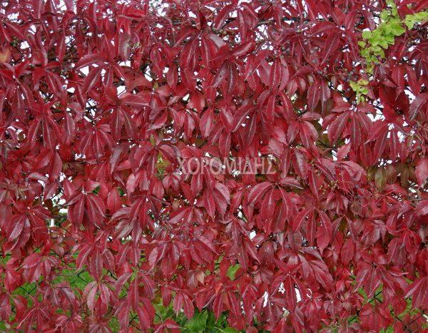 PARTHENOCISSUS QUINQUEFOLIA(ΑΜΠΕΛΟΨΗ Η ΠΑΡΘΕΝΟΚΙΣΣΟΣ), Καρποφόρο δέντρο | Φυτώρια/Γεωπονικές Επιχειρήσεις Χορομίδης: γλάστρες, φυτά, καρποφόρα, αειθαλή, φυτοχώματα, λιπάσματα, εργαλεία και είδη κήπου | Horomidis Agronomic Corp. Flower pots, plants, garden utensils and supplies, evergreens, fruit trees, fertilizer, soil