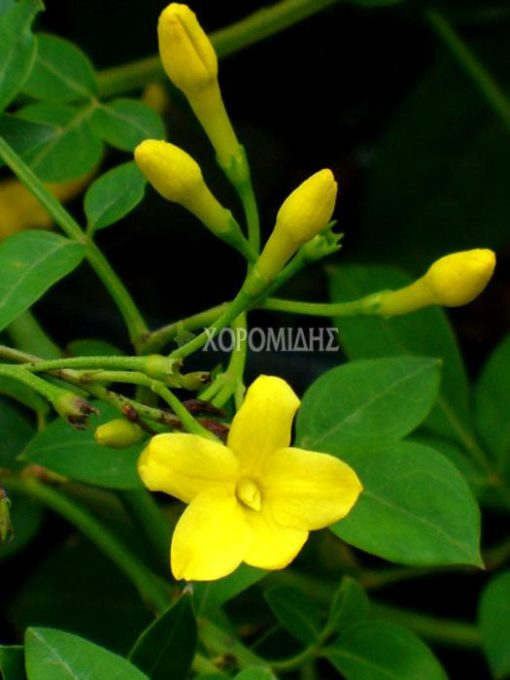 JASMINUM HUMILIS(ΓΙΑΣΕΜΙ ΚΙΤΡΙΝΟ), Καρποφόρο δέντρο   Φυτώρια/Γεωπονικές Επιχειρήσεις Χορομίδης: γλάστρες, φυτά, καρποφόρα, αειθαλή, φυτοχώματα, λιπάσματα, εργαλεία και είδη κήπου   Horomidis Agronomic Corp. Flower pots, plants, garden utensils and supplies, evergreens, fruit trees, fertilizer, soil