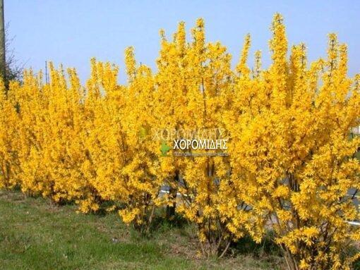 FORSYTHIA INTERMEDIA SPECTABILIS (ΦΟΡΣΥΘΙΑ), Καρποφόρο δέντρο | Φυτώρια/Γεωπονικές Επιχειρήσεις Χορομίδης: γλάστρες , φυτά, καρποφόρα, αειθαλή, φυτοχώματα, λιπάσματα, εργαλεία και είδη κήπου | Horomidis Agronomic Corp. Flower pots, plants, garden utensils and supplies, evergreens, fruit trees, fertilizer, soil