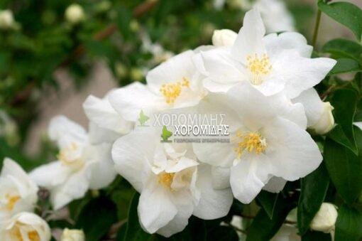 PHILADELPHUS VIRGINALIS (ΦΙΛΑΔΕΛΦΟΣ), Καρποφόρο δέντρο | Φυτώρια/Γεωπονικές Επιχειρήσεις Χορομίδης: γλάστρες , φυτά, καρποφόρα, αειθαλή, φυτοχώματα, λιπάσματα, εργαλεία και είδη κήπου | Horomidis Agronomic Corp. Flower pots, plants, garden utensils and supplies, evergreens, fruit trees, fertilizer, soil