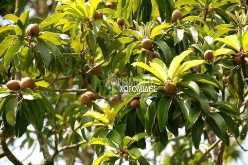 ERIOBOTRYA JAPONICA(ΜΟΥΣΜΟΥΛΙΑ), Καρποφόρο δέντρο | Φυτώρια/Γεωπονικές Επιχειρήσεις Χορομίδης: γλάστρες, φυτά, καρποφόρα, αειθαλή, φυτοχώματα, λιπάσματα, εργαλεία και είδη κήπου | Horomidis Agronomic Corp. Flower pots, plants, garden utensils and supplies, evergreens, fruit trees, fertilizer, soil