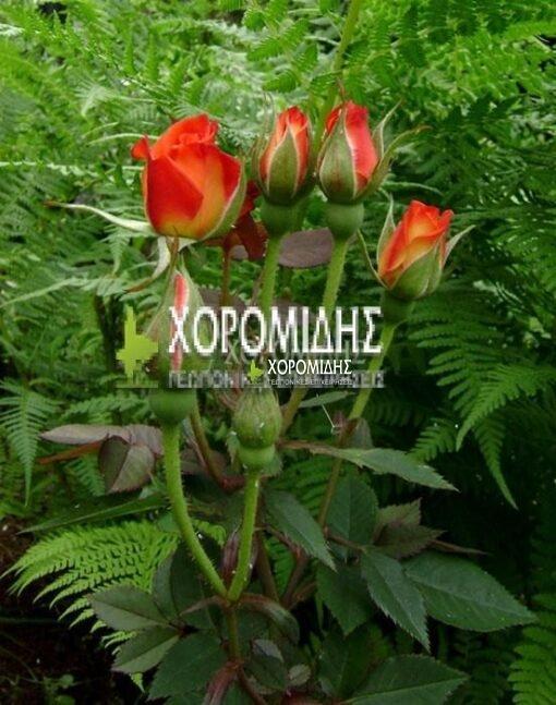 ROSA SP. (ΤΡΙΑΝΤΑΦΥΛΛΙΑ), Καρποφόρο δέντρο   Φυτώρια/Γεωπονικές Επιχειρήσεις Χορομίδης: γλάστρες , φυτά, καρποφόρα, αειθαλή, φυτοχώματα, λιπάσματα, εργαλεία και είδη κήπου   Horomidis Agronomic Corp. Flower pots, plants, garden utensils and supplies, evergreens, fruit trees, fertilizer, soil