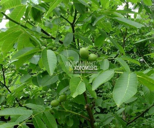 JUGLANS REGIA(ΚΑΡΥΔΙΑ), Καρποφόρο δέντρο | Φυτώρια/Γεωπονικές Επιχειρήσεις Χορομίδης: γλάστρες, φυτά, καρποφόρα, αειθαλή, φυτοχώματα, λιπάσματα, εργαλεία και είδη κήπου | Horomidis Agronomic Corp. Flower pots, plants, garden utensils and supplies, evergreens, fruit trees, fertilizer, soil