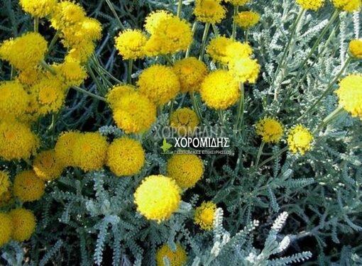 SANTOLINA CHAMAECYPARISSUS (ΛΕΒΑΝΤΙΝΗ) Αρωματικά | Φυτώρια /Γεωπονικές Επιχειρήσεις Χορομίδης: γλάστρες, φυτά , καρποφόρα, αειθαλή, φυτοχώματα, λιπάσματα, εργαλεία και είδη κήπου | Horomidis Agronomic Corp. Flower pots, plants, garden utensils and supplies, evergreens, fruit trees, fertilizer, soil