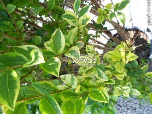 LIGUSTRUM OVALIFOLIUM AUREUM (ΛΙΓΟΥΣΤΡΙΝΙ ΠΑΝΑΣΕ), Καρποφόρο δέντρο | Φυτώρια/Γεωπονικές Επιχειρήσεις Χορομίδης: γλάστρες , φυτά, καρποφόρα, αειθαλή, φυτοχώματα, λιπάσματα, εργαλεία και είδη κήπου | Horomidis Agronomic Corp. Flower pots, plants, garden utensils and supplies, evergreens, fruit trees, fertilizer, soil