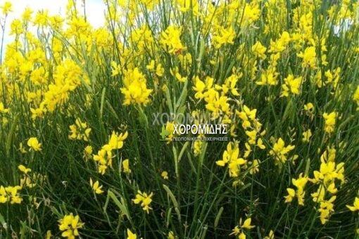 SPARTIUM JUNCEUM (ΣΠΑΡΤΟ), Καρποφόρο δέντρο   Φυτώρια/Γεωπονικές Επιχειρήσεις Χορομίδης: γλάστρες , φυτά, καρποφόρα, αειθαλή, φυτοχώματα, λιπάσματα, εργαλεία και είδη κήπου   Horomidis Agronomic Corp. Flower pots, plants, garden utensils and supplies, evergreens, fruit trees, fertilizer, soil