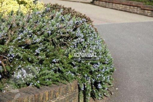 ροσμάρινο, δενδρολίβανο έρπων - ημιέρπων, rosmarinus officinalis prostratus, Καρποφόρο δέντρο | Φυτώρια/Γεωπονικές Επιχειρήσεις Χορομίδης: γλάστρες, φυτά, καρποφόρα, αειθαλή, φυτοχώματα, λιπάσματα, εργαλεία και είδη κήπου | Horomidis Agronomic Corp. Flower pots, plants, garden utensils and supplies, evergreens, fruit trees, fertilizer, soil
