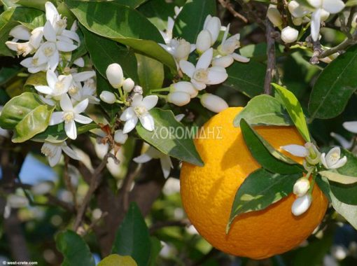 CITRUS SINENSIS(ΠΟΡΤΟΚΑΛΙΑ), Καρποφόρο δέντρο | Φυτώρια/Γεωπονικές Επιχειρήσεις Χορομίδης: γλάστρες, φυτά, καρποφόρα, αειθαλή, φυτοχώματα, λιπάσματα, εργαλεία και είδη κήπου | Horomidis Agronomic Corp. Flower pots, plants, garden utensils and supplies, evergreens, fruit trees, fertilizer, soi