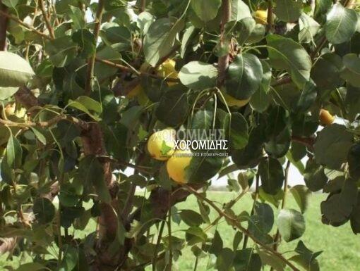 PYRUS COMMUNIS(ΑΧΛΑΔΙΑ), Καρποφόρο δέντρο | Φυτώρια/Γεωπονικές Επιχειρήσεις Χορομίδης: γλάστρες, φυτά, καρποφόρα, αειθαλή, φυτοχώματα, λιπάσματα, εργαλεία και είδη κήπου | Horomidis Agronomic Corp. Flower pots, plants, garden utensils and supplies, evergreens, fruit trees, fertilizer, soil