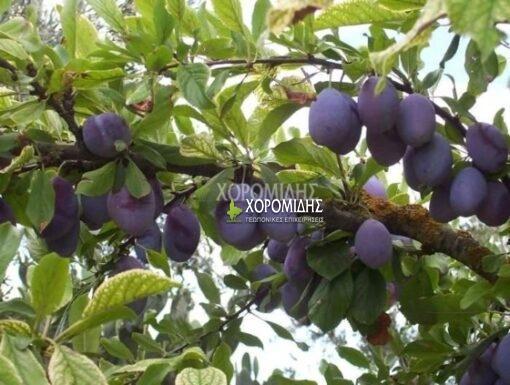 PRUNUS DOMESTICA(ΔΑΜΑΣΚΗΝΙΑ), Καρποφόρο δέντρο | Φυτώρια/Γεωπονικές Επιχειρήσεις Χορομίδης: γλάστρες, φυτά, καρποφόρα, αειθαλή, φυτοχώματα, λιπάσματα, εργαλεία και είδη κήπου | Horomidis Agronomic Corp. Flower pots, plants, garden utensils and supplies, evergreens, fruit trees, fertilizer, soil