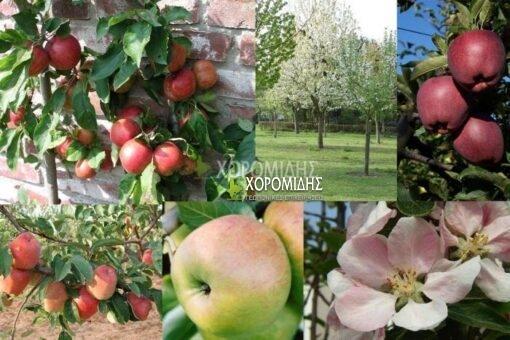 MALUS DOMESTICA(ΜΗΛΙΑ), Καρποφόρο δέντρο | Φυτώρια/Γεωπονικές Επιχειρήσεις Χορομίδης: γλάστρες, φυτά, καρποφόρα, αειθαλή, φυτοχώματα, λιπάσματα, εργαλεία και είδη κήπου | Horomidis Agronomic Corp. Flower pots, plants, garden utensils and supplies, evergreens, fruit trees, fertilizer, soil