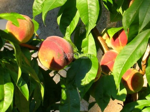 PRUNUS PERSICA(ΡΟΔΑΚΙΝΙΑ), Καρποφόρο δέντρο | Φυτώρια/Γεωπονικές Επιχειρήσεις Χορομίδης: γλάστρες, φυτά, καρποφόρα, αειθαλή, φυτοχώματα, λιπάσματα, εργαλεία και είδη κήπου | Horomidis Agronomic Corp. Flower pots, plants, garden utensils and supplies, evergreens, fruit trees, fertilizer, soil