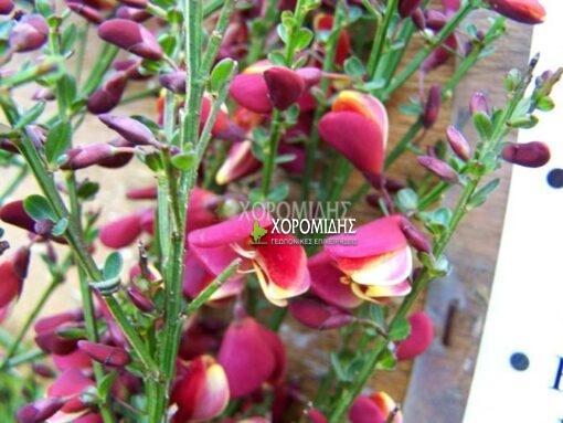 CYTISUS PRAECOX SCOPARIUS (ΚΥΤΙΣΟΣ), Καρποφόρο δέντρο | Φυτώρια/Γεωπονικές Επιχειρήσεις Χορομίδης: γλάστρες , φυτά, καρποφόρα, αειθαλή, φυτοχώματα, λιπάσματα, εργαλεία και είδη κήπου | Horomidis Agronomic Corp. Flower pots, plants, garden utensils and supplies, evergreens, fruit trees, fertilizer, soil