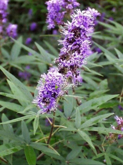 VITEX AGNUS CACTUS (ΛΥΓΑΡΙΑ), Καρποφόρο δέντρο | Φυτώρια/Γεωπονικές Επιχειρήσεις Χορομίδης: γλάστρες , φυτά, καρποφόρα, αειθαλή, φυτοχώματα, λιπάσματα, εργαλεία και είδη κήπου | Horomidis Agronomic Corp. Flower pots, plants, garden utensils and supplies, evergreens, fruit trees, fertilizer, soil