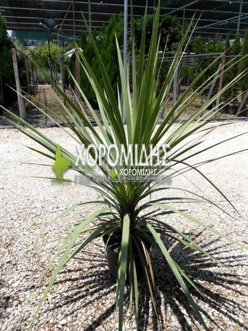 CORDYLINE INDIVISA(ΔΡΑΚΑΙΝΑ), Καρποφόρο δέντρο | Φυτώρια/Γεωπονικές Επιχειρήσεις Χορομίδης: γλάστρες, φυτά, καρποφόρα, αειθαλή, φυτοχώματα, λιπάσματα, εργαλεία και είδη κήπου | Horomidis Agronomic Corp. Flower pots, plants, garden utensils and supplies, evergreens, fruit trees, fertilizer, soil