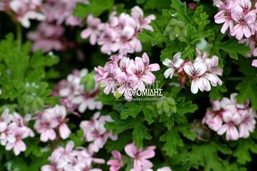 PELARGONIUM ODORATISSIMUM (ΑΡΜΠΑΡΟΡΙΖΑ) Αρωματικά | Φυτώρια /Γεωπονικές Επιχειρήσεις Χορομίδης: γλάστρες, φυτά , καρποφόρα, αειθαλή, φυτοχώματα, λιπάσματα, εργαλεία και είδη κήπου | Horomidis Agronomic Corp. Flower pots, plants, garden utensils and supplies, evergreens, fruit trees, fertilizer, soil