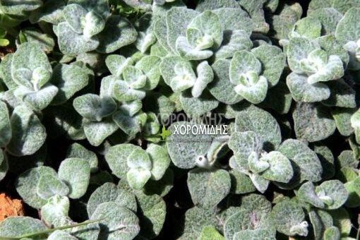ρίγανη, origanum dictamnus, Καρποφόρο δέντρο   Φυτώρια/Γεωπονικές Επιχειρήσεις Χορομίδης: γλάστρες, φυτά, καρποφόρα, αειθαλή, φυτοχώματα, λιπάσματα, εργαλεία και είδη κήπου   Horomidis Agronomic Corp. Flower pots, plants, garden utensils and supplies, evergreens, fruit trees, fertilizer, soil