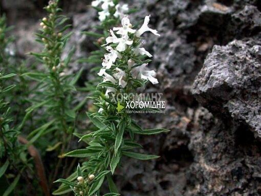 SATUREJA MONTANA (ΘΡΟΥΜΠΙ) Αρωματικά | Φυτώρια /Γεωπονικές Επιχειρήσεις Χορομίδης: γλάστρες, φυτά , καρποφόρα, αειθαλή, φυτοχώματα, λιπάσματα, εργαλεία και είδη κήπου | Horomidis Agronomic Corp. Flower pots, plants, garden utensils and supplies, evergreens, fruit trees, fertilizer, soil