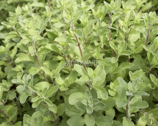 ORIGANUM MAJORANA (ΜΑΤΖΟΥΡΑΝΑ) Αρωματικά   Φυτώρια /Γεωπονικές Επιχειρήσεις Χορομίδης: γλάστρες, φυτά , καρποφόρα, αειθαλή, φυτοχώματα, λιπάσματα, εργαλεία και είδη κήπου   Horomidis Agronomic Corp. Flower pots, plants, garden utensils and supplies, evergreens, fruit trees, fertilizer, soil