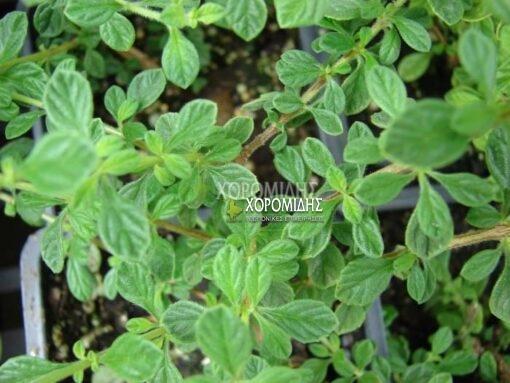 ORIGANUM VULGARIS (ΡΙΓΑΝΗ) Αρωματικά | Φυτώρια /Γεωπονικές Επιχειρήσεις Χορομίδης: γλάστρες, φυτά , καρποφόρα, αειθαλή, φυτοχώματα, λιπάσματα, εργαλεία και είδη κήπου | Horomidis Agronomic Corp. Flower pots, plants, garden utensils and supplies, evergreens, fruit trees, fertilizer, soil