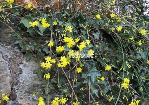 JASMINUM NODIFLORUM(ΓΙΑΣΕΜΙ ΓΥΜΝΑΝΘΕΣ), Καρποφόρο δέντρο   Φυτώρια/Γεωπονικές Επιχειρήσεις Χορομίδης: γλάστρες, φυτά, καρποφόρα, αειθαλή, φυτοχώματα, λιπάσματα, εργαλεία και είδη κήπου   Horomidis Agronomic Corp. Flower pots, plants, garden utensils and supplies, evergreens, fruit trees, fertilizer, soil