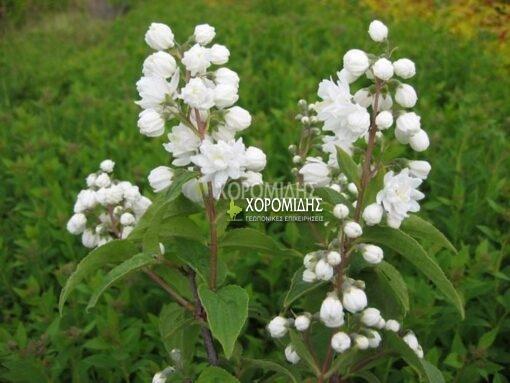 DEUTZIA MAGNIFICA (ΔΕΥΤΣΙΑ), Καρποφόρο δέντρο | Φυτώρια/Γεωπονικές Επιχειρήσεις Χορομίδης: γλάστρες , φυτά, καρποφόρα, αειθαλή, φυτοχώματα, λιπάσματα, εργαλεία και είδη κήπου | Horomidis Agronomic Corp. Flower pots, plants, garden utensils and supplies, evergreens, fruit trees, fertilizer, soil