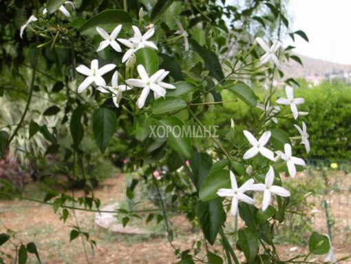 JASMINUM AZORICUM(ΓΙΑΣΕΜΙ ΑΡΑΠΙΚΟ), Καρποφόρο δέντρο | Φυτώρια/Γεωπονικές Επιχειρήσεις Χορομίδης: γλάστρες, φυτά, καρποφόρα, αειθαλή, φυτοχώματα, λιπάσματα, εργαλεία και είδη κήπου | Horomidis Agronomic Corp. Flower pots, plants, garden utensils and supplies, evergreens, fruit trees, fertilizer, soil