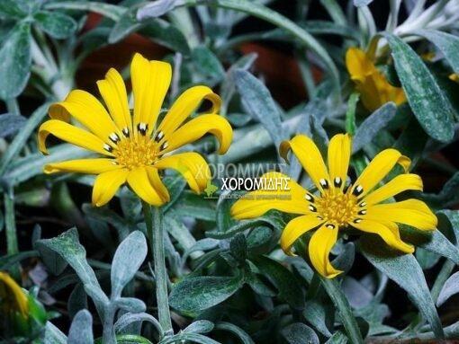 GAZANIA SPLEDENS (ΓΚΑΖΑΝΙΑ) Ποώδη| Φυτώρια/Γεωπονικές Επιχειρήσεις Χορομίδης: γλάστρες, φυτά, καρποφόρα, αειθαλή, φυτοχώματα, λιπάσματα, εργαλεία και είδη κήπου | Horomidis Agronomic Corp. Flower pots, plants, garden utensils and supplies, evergreens, fruit trees, fertilizer, soil