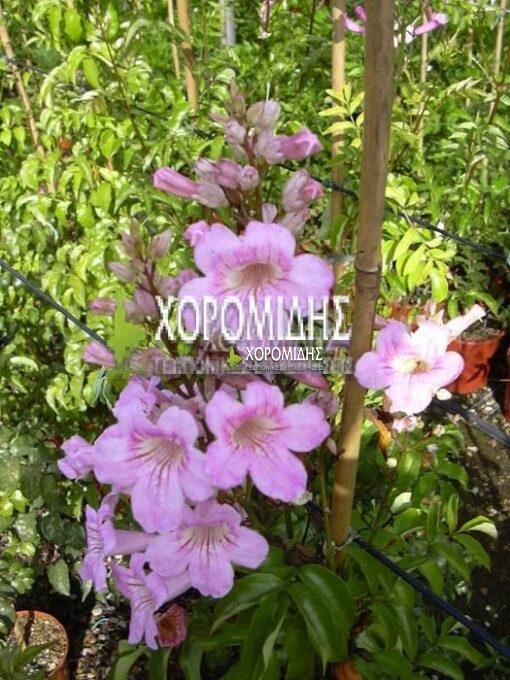 ΒIGNONIA CONTESSA SARA (ΜΠΙΓΚΟΝΙΑ ΚΟΝΤΕΣΣΑ ΣΑΡΑ), Καρποφόρο δέντρο | Φυτώρια/Γεωπονικές Επιχειρήσεις Χορομίδης: γλάστρες, φυτά, καρποφόρα, αειθαλή, φυτοχώματα, λιπάσματα, εργαλεία και είδη κήπου | Horomidis Agronomic Corp. Flower pots, plants, garden utensils and supplies, evergreens, fruit trees, fertilizer, soil