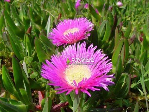MESEMBRYANTHEMUM SP. (ΜΠΟΥΖΙ) Ποώδη  Φυτώρια/Γεωπονικές Επιχειρήσεις Χορομίδης: γλάστρες, φυτά, καρποφόρα, αειθαλή, φυτοχώματα, λιπάσματα, εργαλεία και είδη κήπου   Horomidis Agronomic Corp. Flower pots, plants, garden utensils and supplies, evergreens, fruit trees, fertilizer, soil