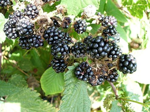 rubus fruticosus, βατόμουρο, Καρποφόρο δέντρο | Φυτώρια/Γεωπονικές Επιχειρήσεις Χορομίδης: γλάστρες, φυτά, καρποφόρα, αειθαλή, φυτοχώματα, λιπάσματα, εργαλεία και είδη κήπου | Horomidis Agronomic Corp. Flower pots, plants, garden utensils and supplies, evergreens, fruit trees, fertilizer, soil