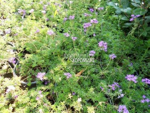 VERBENA PERUVIANA (ΤΑΠΙΕΝΣ) Ποώδη| Φυτώρια/Γεωπονικές Επιχειρήσεις Χορομίδης: γλάστρες, φυτά, καρποφόρα, αειθαλή, φυτοχώματα, λιπάσματα, εργαλεία και είδη κήπου | Horomidis Agronomic Corp. Flower pots, plants, garden utensils and supplies, evergreens, fruit trees, fertilizer, soil