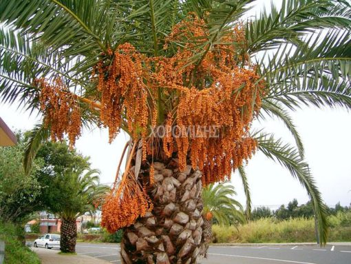 PHOENIX CANARIENSIS (ΦΟΙΝΙΚΑΣ ΚΑΝΑΡΙΟΣ), Καρποφόρο δέντρο   Φυτώρια/Γεωπονικές Επιχειρήσεις Χορομίδης: γλάστρες, φυτά, καρποφόρα, αειθαλή, φυτοχώματα, λιπάσματα, εργαλεία και είδη κήπου   Horomidis Agronomic Corp. Flower pots, plants, garden utensils and supplies, evergreens, fruit trees, fertilizer, soil