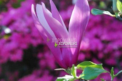 MAGNOLIA OBOVATA PURPUREA (ΜΑΓΝΟΛΙΑ ΛΙΛΙΦΛΟΡΑ), Καρποφόρο δέντρο | Φυτώρια/Γεωπονικές Επιχειρήσεις Χορομίδης: γλάστρες , φυτά, καρποφόρα, αειθαλή, φυτοχώματα, λιπάσματα, εργαλεία και είδη κήπου | Horomidis Agronomic Corp. Flower pots, plants, garden utensils and supplies, evergreens, fruit trees, fertilizer, soil