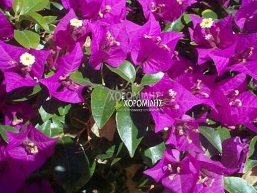 BOUGAINVILLEA SP(ΒΟΥΚΑΜΒΙΛΙΑ), Καρποφόρο δέντρο | Φυτώρια/Γεωπονικές Επιχειρήσεις Χορομίδης: γλάστρες, φυτά, καρποφόρα, αειθαλή, φυτοχώματα, λιπάσματα, εργαλεία και είδη κήπου | Horomidis Agronomic Corp. Flower pots, plants, garden utensils and supplies, evergreens, fruit trees, fertilizer, soil
