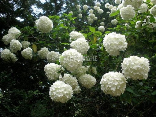 VIBURNUM OPULUS ROSEUM (ΒΙΒΟΥΡΝΟ ΧΙΟΝΟΣΦΑΙΡΑ), Καρποφόρο δέντρο | Φυτώρια/Γεωπονικές Επιχειρήσεις Χορομίδης: γλάστρες , φυτά, καρποφόρα, αειθαλή, φυτοχώματα, λιπάσματα, εργαλεία και είδη κήπου | Horomidis Agronomic Corp. Flower pots, plants, garden utensils and supplies, evergreens, fruit trees, fertilizer, soil