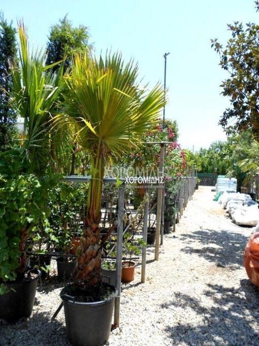 WASHINGTONIA FILIFERA(ΠΙΤΣΑΡΔΙΑ), Καρποφόρο δέντρο | Φυτώρια/Γεωπονικές Επιχειρήσεις Χορομίδης: γλάστρες, φυτά, καρποφόρα, αειθαλή, φυτοχώματα, λιπάσματα, εργαλεία και είδη κήπου | Horomidis Agronomic Corp. Flower pots, plants, garden utensils and supplies, evergreens, fruit trees, fertilizer, soil