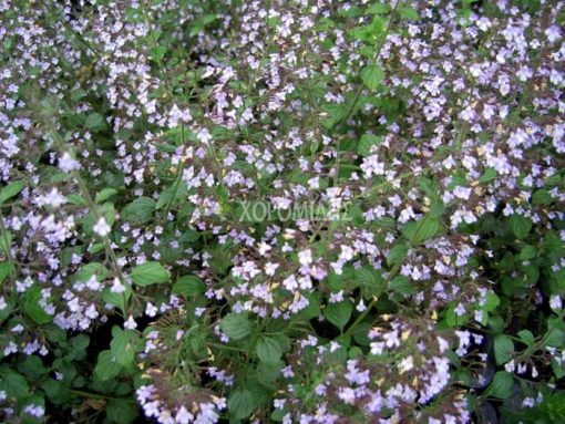 CALAMINTHA NEPETA BLUE CLOUD (ΚΑΛΑΜΙΝΘΑ), Ποώδη| Φυτώρια/Γεωπονικές Επιχειρήσεις Χορομίδης: γλάστρες, φυτά, καρποφόρα, αειθαλή, φυτοχώματα, λιπάσματα, εργαλεία και είδη κήπου | Horomidis Agronomic Corp. Flower pots, plants, garden utensils and supplies, evergreens, fruit trees, fertilizer, soil