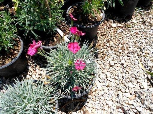 DIANTHUS GRATIANOPOLITANUS BADENIA (ΓΑΡΥΦΑΛΛΟ), Ποώδη| Φυτώρια/Γεωπονικές Επιχειρήσεις Χορομίδης: γλάστρες, φυτά, καρποφόρα, αειθαλή, φυτοχώματα, λιπάσματα, εργαλεία και είδη κήπου | Horomidis Agronomic Corp. Flower pots, plants, garden utensils and supplies, evergreens, fruit trees, fertilizer, soil