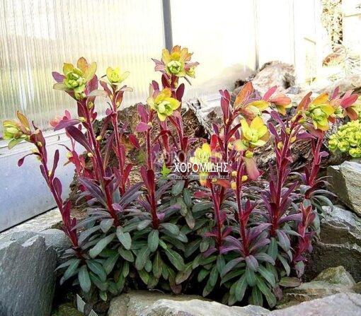 EUPHORBIA AMYGDALOIDES PURPUREA (ΕΥΦΟΡΒΙΑ), Ποώδη| Φυτώρια/Γεωπονικές Επιχειρήσεις Χορομίδης: γλάστρες, φυτά, καρποφόρα, αειθαλή, φυτοχώματα, λιπάσματα, εργαλεία και είδη κήπου | Horomidis Agronomic Corp. Flower pots, plants, garden utensils and supplies, evergreens, fruit trees, fertilizer, soil