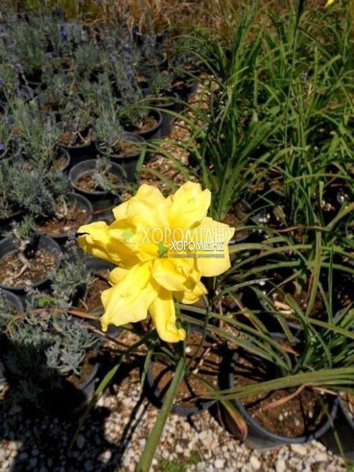HEMEROCALLIS DOUBLE RIVER WYE (ΗΜΕΡΟΚΑΛΛΙΣ) Ποώδη| Φυτώρια/Γεωπονικές Επιχειρήσεις Χορομίδης: γλάστρες, φυτά, καρποφόρα, αειθαλή, φυτοχώματα, λιπάσματα, εργαλεία και είδη κήπου | Horomidis Agronomic Corp. Flower pots, plants, garden utensils and supplies, evergreens, fruit trees, fertilizer, soil