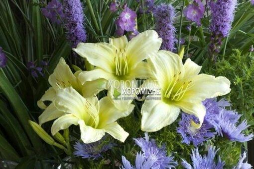 HEMEROCALLIS ICE CARNIVAL (ΗΜΕΡΟΚΑΛΛΙΣ) Ποώδη| Φυτώρια/Γεωπονικές Επιχειρήσεις Χορομίδης: γλάστρες, φυτά, καρποφόρα, αειθαλή, φυτοχώματα, λιπάσματα, εργαλεία και είδη κήπου | Horomidis Agronomic Corp. Flower pots, plants, garden utensils and supplies, evergreens, fruit trees, fertilizer, soil