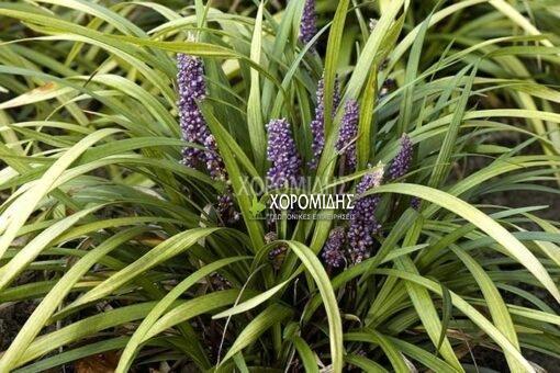 LIRIOPE SPICATA (ΛΙΡΙΟΠΙ) Ποώδη| Φυτώρια/Γεωπονικές Επιχειρήσεις Χορομίδης: γλάστρες, φυτά, καρποφόρα, αειθαλή, φυτοχώματα, λιπάσματα, εργαλεία και είδη κήπου | Horomidis Agronomic Corp. Flower pots, plants, garden utensils and supplies, evergreens, fruit trees, fertilizer, soil