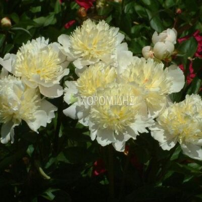 PAEONIA LAURA DESSERT (ΠΑΙΩΝΙΑ). From €17 ea2ee1d1b3d